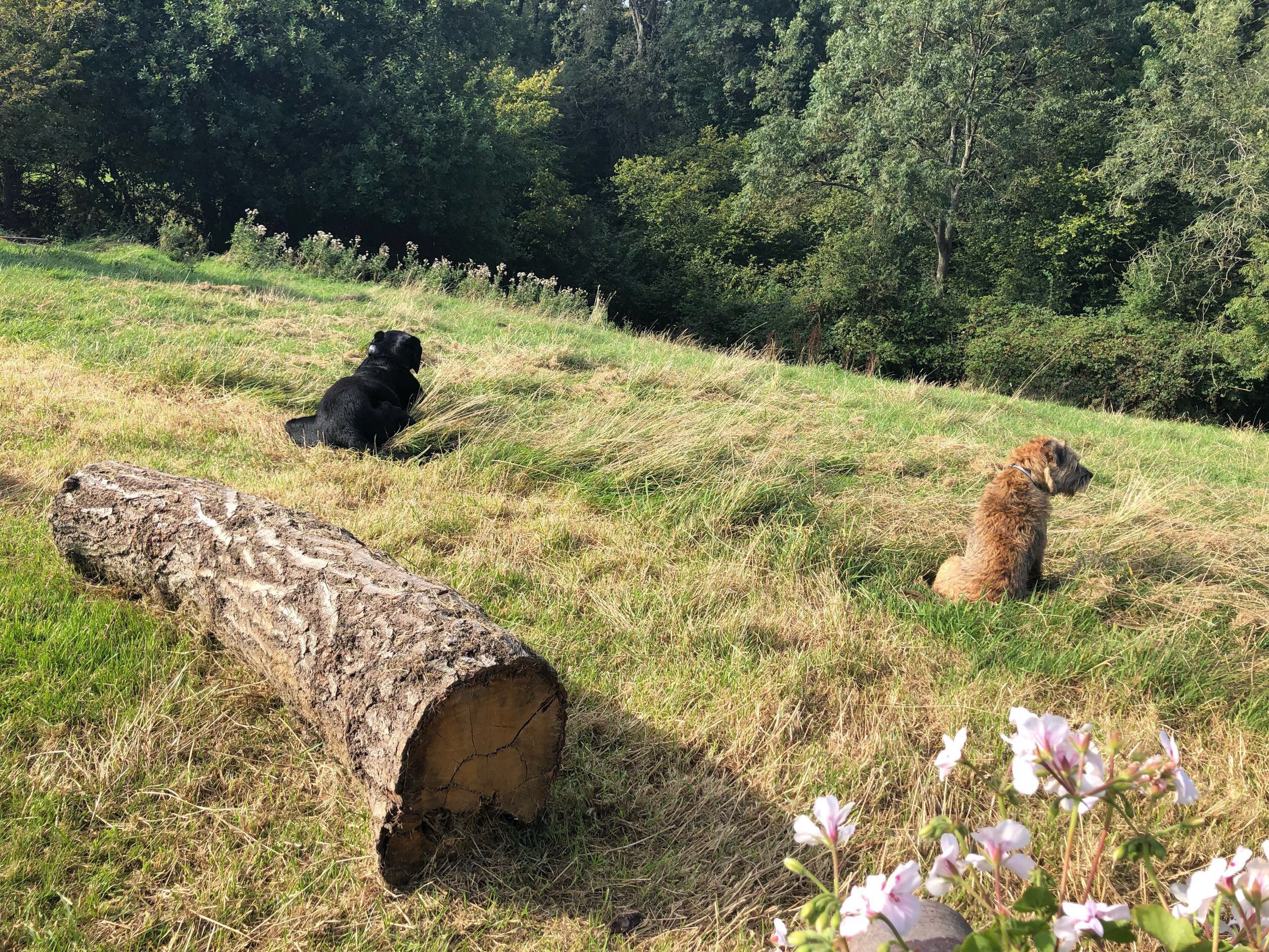 Dogs keeping watch on the campsite